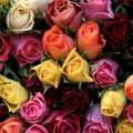 Roser i flotte farver